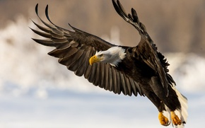 Picture bird, wings, predator, Bald eagle