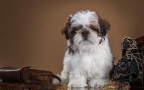Picture retro, the camera, puppy, Shih Tzu