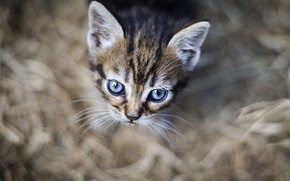 Picture eyes, look, background, kitty