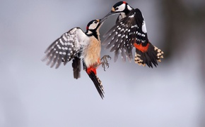 Picture birds, two, great spotted woodpecker