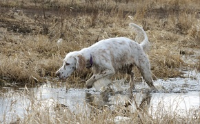 Picture field, spring, hunting, setter
