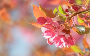 Picture macro, spring, Apple