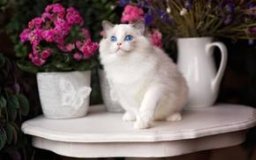 Picture cat, flowers, blue eyes, Ragdoll