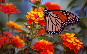 Picture macro, flowers, butterfly, wings, monarch, inflorescence