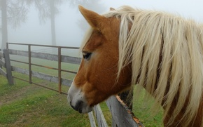 Picture trees, fog, horse, the fence, mane, profile