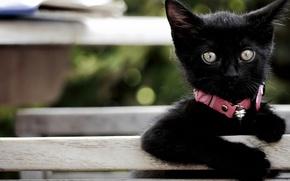 Picture look, baby, collar, kitty, black kitten