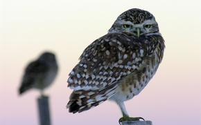Picture blur, macro, birds, owls, columns, Owl