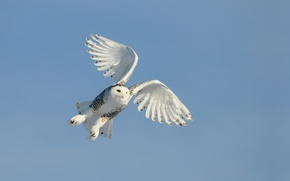 Picture the sky, flight, owl, bird, wings