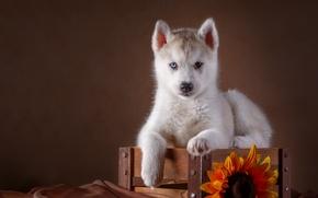 Picture sunflower, puppy, box, husky