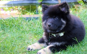 Picture dog, puppy, The eurasier