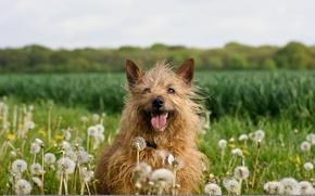 Picture nature, dog, dandelions