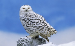 Wallpaper owl, bird, polar