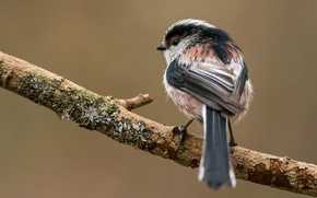 Picture background, branch, bird, long-tailed tit