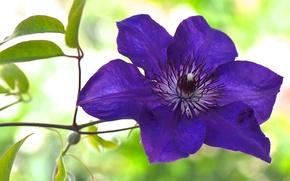 Picture purple, macro, clematis, clematis