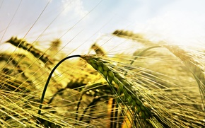 Picture field, macro, light, ears, Wheat