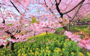 Picture branches, tree, Japan, blur, garden, Sakura, flowering