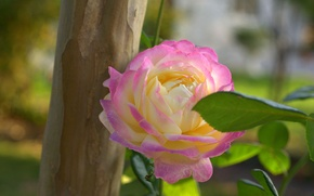 Picture nature, sheet, rose, petals, Bud