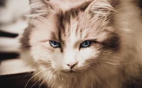 Picture cat, cat, Cat, muzzle, Tomcat