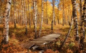 Picture autumn, forest, leaves, bridge, nature, photo, birch