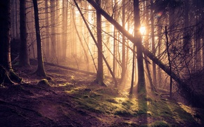 Picture forest, the sun, rays, pine