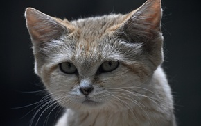 Picture look, face, sandy the cat, sand cat, sand cat