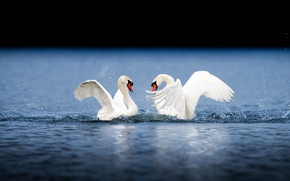 Picture water, drops, love, squirt, birds, wings, pair, swans, pond, sports, the marriage game