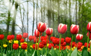 Wallpaper beauty, Spring tulips, yellow, red, spring, tulips