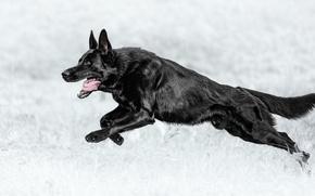 Picture dog, running, shepherd, German shepherd