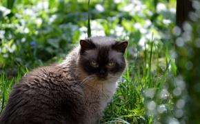 Picture cat, grass, British, Shorthair