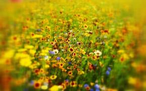 Picture field, grass, flowers, meadow