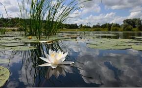 Wallpaper water, algae, reflection, Lily