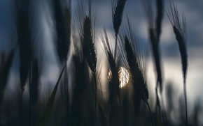 Picture field, the sky, the darkness, spikelets