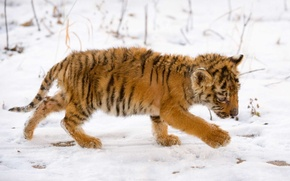 Picture snow, baby, Tiger