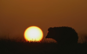 Picture grass, the sun, sunset, nature, hedgehog