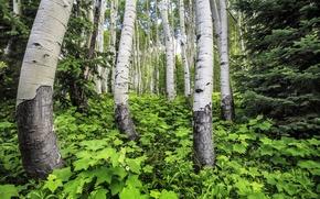 Picture grass, trees, trunk, grove, aspen