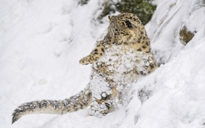 Picture snow, jump, the game, predator, slope, baby, IRBIS, snow leopard, cub, kitty, wild cat, snow …