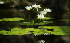 Picture leaves, water, water, leaves, water lilies, water lilies