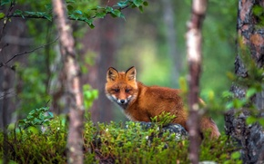 Picture forest, trees, Fox, red