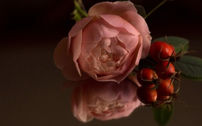 Picture macro, reflection, rose, Bud, briar, rose hips