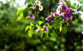 Picture drops, flowers, branches, rain, pink, bougainvillea