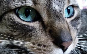 Wallpaper look, eyes, Cat