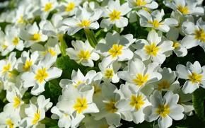 Picture spring, flowers, primrose
