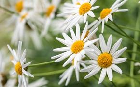 Picture chamomile, petals, garden, meadow