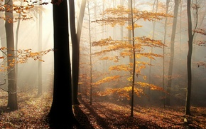 Picture autumn, forest, leaves, rays, trees, fog