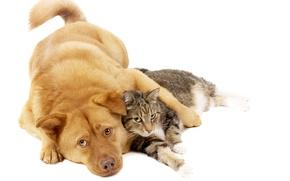 Wallpaper cat, cat, dog, red, friends, dog