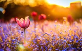 Wallpaper field, sunset, flowers, Tulip
