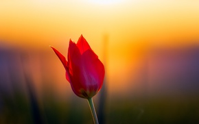 Wallpaper flower, sunset, Tulip