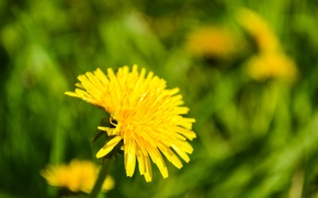 Picture flowers, nature, dandelion, spring