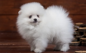 Picture white, fluffy, cute, puppy, Spitz