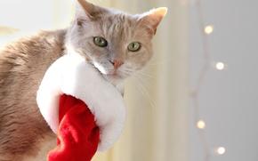 Picture cat, cat, look, cap